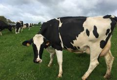 Dairy_cow_in_Normandy.JPG