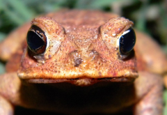 canetoad.PNG