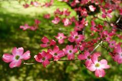 dogwood-flowers.jpg